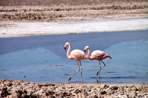 Pink flamingos seen at the Chaxa Lagoon in the Atacama Desert's salt flats.