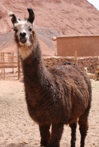 A llama on the grounds of the Alto Atacama Desert Lodge & Spa.