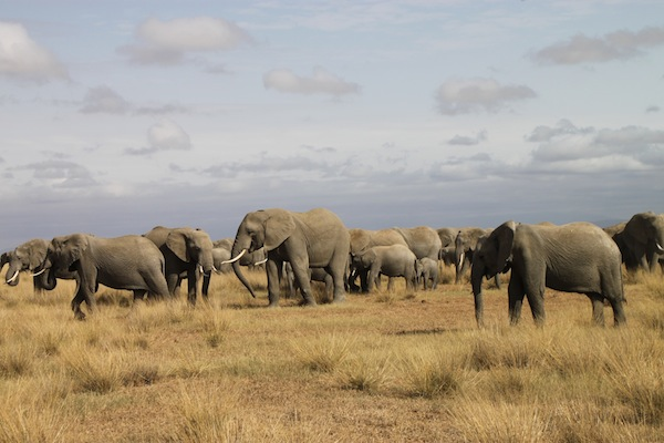 In Kenya, Amboseli elephants at the Kitirua Conservancy.