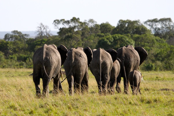 Time to leave now: A group of elephants walking away from us on the Maasai Mara.