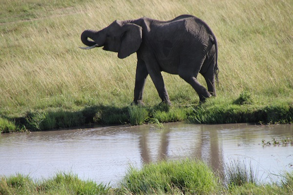 An elephant wraps up a drinking session at a waterhole on the plains of the Maasai Mara.