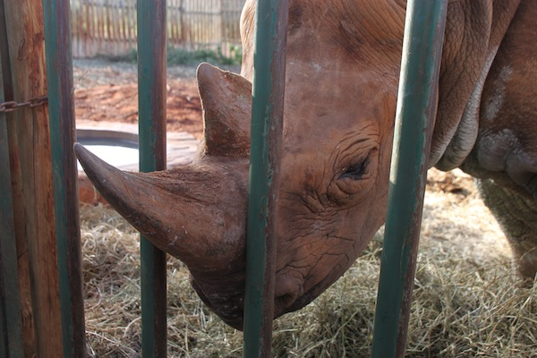 Maxwell, the abandoned and blind rhino, makes himself available for attentions from his human visitors.
