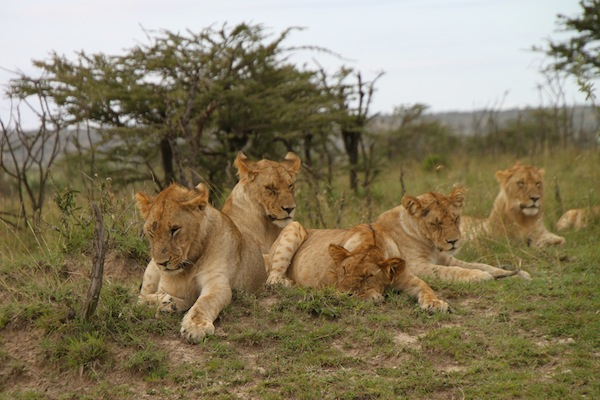 The family that naps together stays together. These young lions are seen on the Maasai Mara.