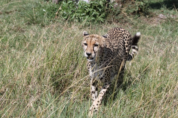 Wounded but regal, this cheetah strides across the Maasai Mara with seeming ease.