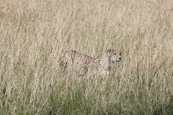 The tall grasses of the Maasai Mara do an amazing job of camouflaging a cheetah.