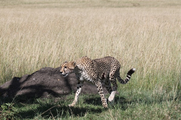 This cheetah has a nasty gash on her left side, visible here.