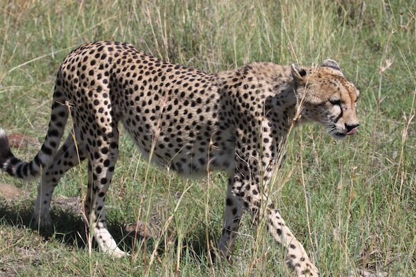 Undeterred by a tourist vehicle, the cheetah strides very close to her visitors.