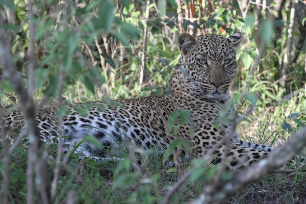 This leopard guards her kill, stashed safely high in a tree. She also was almost certainly responsible for the death of a jackal lying nearby.
