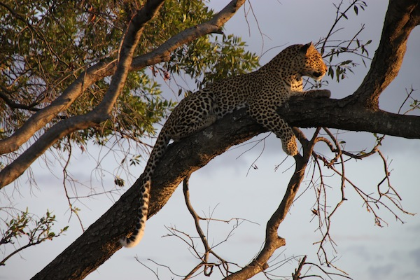 Fig, the leopard, looks very contented on a tree limb, the late-day sun on her face.