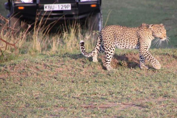 This is Fig, the leopard, skirting the vehicles in her path as she makes her way across a bit of the Maasai Mara.