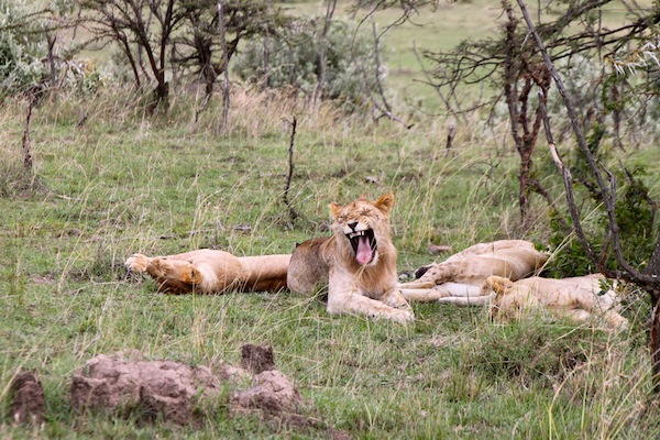 Lions know how to enjoy a good yawn.