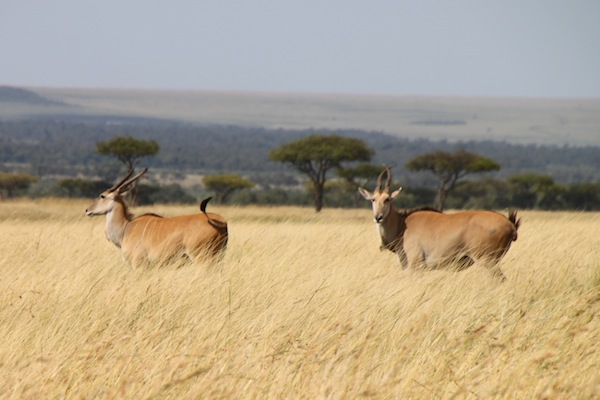 Two elands look grand without even trying, seen on the Maasai Mara.