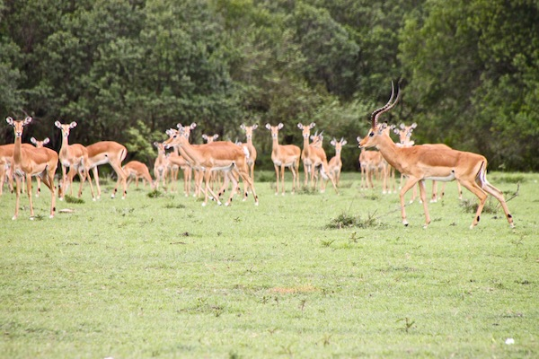 "An impala harem stands quietly, on the Maasai Mara, as the possessive male, with horns, in the foreground at right, paces to protect his ""property."""
