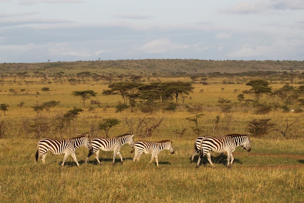 Zebras on the Maasai Mara in southwestern Kenya.