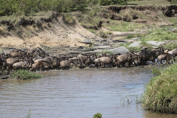 Wildebeests run across the Maasai Mara's Ntiakitiak River to get to the grasses on the next plateau.
