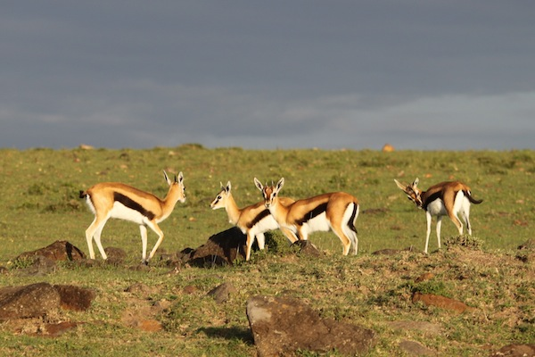 Thomson's gazelles breakfasting under bright early morning light, on the Maasai Mara.