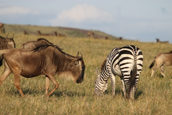 Zebras often graze alongside wildebeests. These animals are on the Maasai Mara.