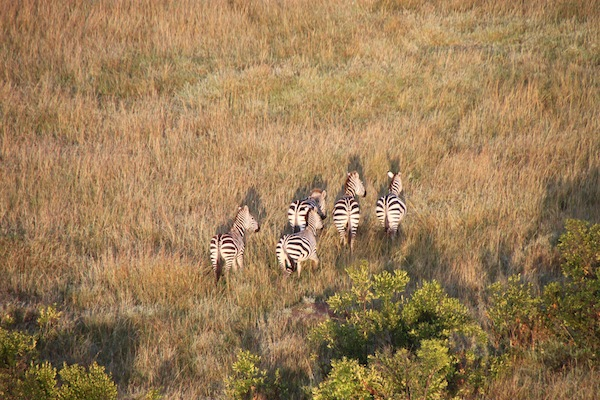 Zebras, sensing a balloon nearby, skitter away.
