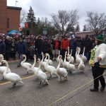 Swans on the March: 28th Stratford Swan Parade